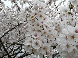 お花見 009s.jpg